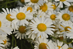 Bunch of Wild Daisies Royalty Free Stock Photography