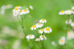 A bunch of Daisies in green. A bunch of daisies stand in front of green background Stock Photo