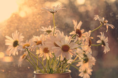 Bunch of daisies in morning light Royalty Free Stock Photography
