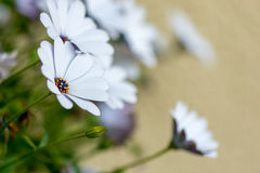 Bunch of Daisies. Small bunch of daisies with the nearest in focus and the rear blurred to leave room for copy stock images