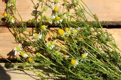A bunch of daisies Stock Images