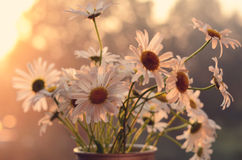 Bunch of daisies in uprise sun Stock Photos