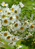 Bunch of daisy flowers in sunlight Royalty Free Stock Photos