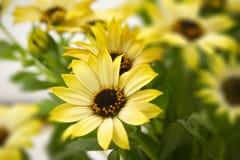 Bunch of daisy Royalty Free Stock Photos