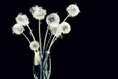 Bunch of dandelion seeds Royalty Free Stock Images