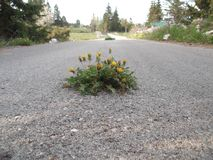 The Bunch of the dandelions come up in the middle of the asphalt road Stock Photography