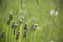 Closed dandelions in a meadow with green background royalty free stock photography