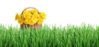 Bunch of dandelions and green grass. Dandelions in a basket on green grass. Isolated over white Stock Photos