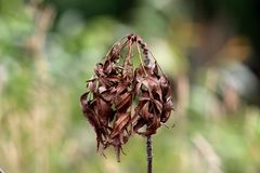 Bunch of dark brown dried small leaves on top of single tree branch with leaves and plants background in local garden. On warm summer day stock photos