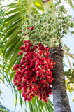 A bunch of dates on the tree Royalty Free Stock Photography