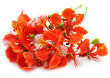 Bunch of Delonix regia or Krishnachura Royalty Free Stock Photo