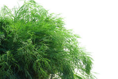 Bunch of dill. On white background royalty free stock image