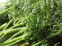 Bunch of dill. A bunch of delicious dill Royalty Free Stock Photography