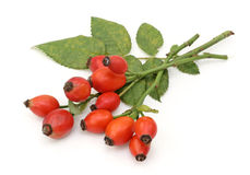 Bunch of dog rose Royalty Free Stock Photo