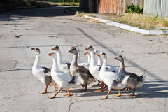 Bunch of domestic geese walking Royalty Free Stock Photography