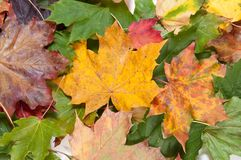 Bunch of dried colorful autumn leaves Royalty Free Stock Image