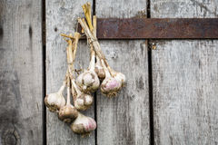 Bunch of dried garlic on a wooden background. Bunch of new crop garlic dried on a wooden background royalty free stock photos