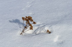 Bunch of dry grass in snowy field Stock Photo