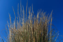 Bunch of dry grass Royalty Free Stock Image