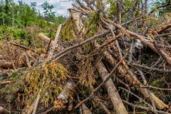 Free Bunch Dry Old Branches Trunk Spruce Impassable Blockage Cleaning The Forest Bad Weather Stock Images - 151892124