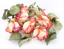 Bunch of dry roses Royalty Free Stock Image