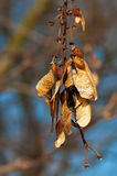 Bunch of dry seeds and achenes of maple tree Stock Photography