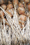 Bunch of drying onions Royalty Free Stock Photo