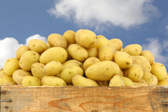 Bunch of dutch seed potatoes (krieltjes) Royalty Free Stock Photography