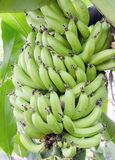 Bunch Dwarf Cavendish Banana Grove in Biltmore Estate Conservatory Greenhouse. Bananas growing on banana tree in Greenhouse in the Biltmore Estate mansion in Stock Image