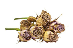 Bunch of Dying Mauve Roses with Green Stems Royalty Free Stock Photos
