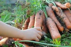 Bunch of ecological carrot Stock Photos