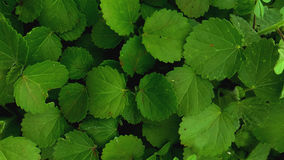 Serrated leaves. Bunch of edgy green leaves Royalty Free Stock Images