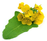 Bunch of edible mustard flowers Royalty Free Stock Photos