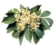 Bunch of Elderflowers Royalty Free Stock Photography