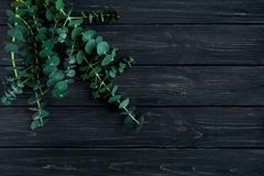 Bunch of eucalyptus branches on black background. Nature minimalistic spring composition, top view, flat lay stock photos