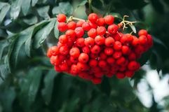 Bunch of european rowan on tree. Large orange berries on the tree closeup on a background of autumn green leaves Royalty Free Stock Photo