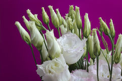 Bunch of eustoma flower over purple background Royalty Free Stock Image