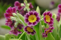 Bunch evening primrose plant primula vulgaris purple first spring flower. royalty free stock images