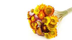 Everlasting. A bunch of everlasting flower on white background Royalty Free Stock Photo