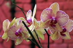 Bunch of exotic moth orchid flower shot at Mahabaleshwar, India stock photography
