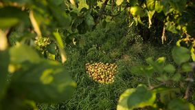 Bunch of fallen apples on the ground under the apple tree. On a sunny autumn day stock footage