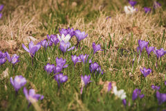 Bunch of Farmer Crocus!. Beautiful Farmer Crocus on the street - March 2017, Groningen Netherlands Royalty Free Stock Photos