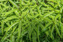 Bunch of fern leaves Stock Photography