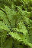 Bunch of ferns. Fern in the Bialowieza Forest stock images