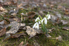 Bunch of first snowdrops in forest. Bunch of first snowdrops in spring forest Royalty Free Stock Photography