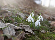 Bunch of first snowdrops in forest. Bunch of first snowdrops in spring forest Royalty Free Stock Images