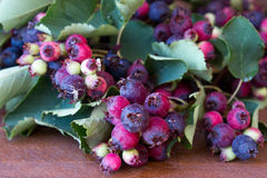 Bunch of first wild autumn berry Royalty Free Stock Images