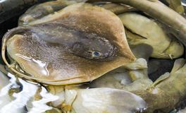 Stingray at marketplace. Bunch of fish at marketplace royalty free stock photography