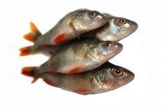 Bunch of fishes Royalty Free Stock Image