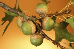 Bunch of Five Acorns on Branch Royalty Free Stock Images